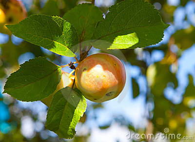 Apple on apple-tree branches