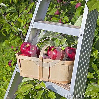 Free Apple Basket Royalty Free Stock Photo - 29300805