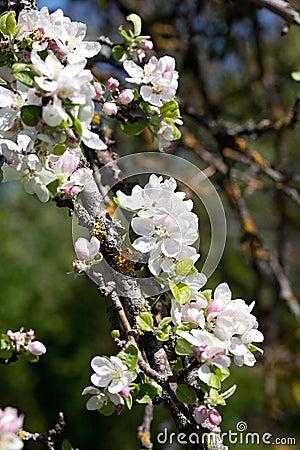 Apple blomning.