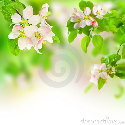 Free Apple Blossom Stock Photo - 11373910