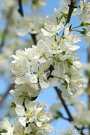 Free Apple Blossom Stock Image - 773501