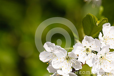 Apple blossom background