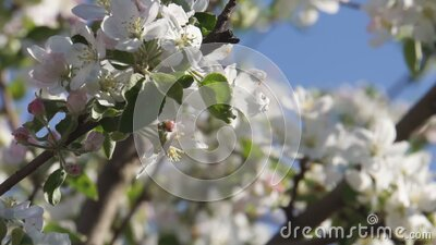 Apple blossom branches stock footage