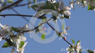 Apple blossom branches stock video