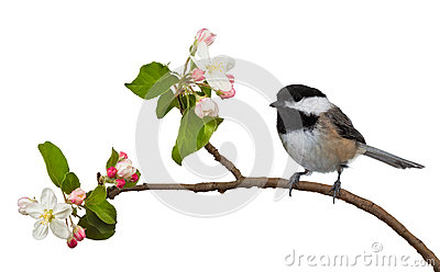 Apple Blossom Chickadee