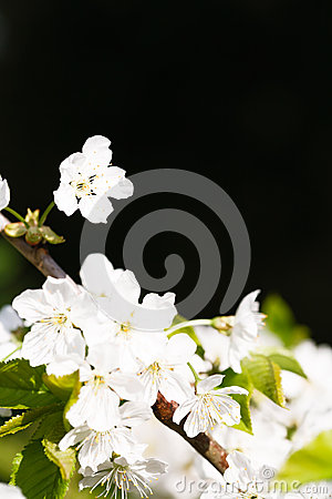 Free Apple Blossom Copyspace Royalty Free Stock Photography - 29433297