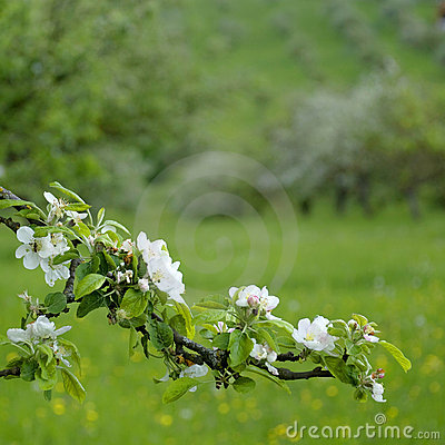 Free Apple Blossom On Spring Stock Photo - 17311630