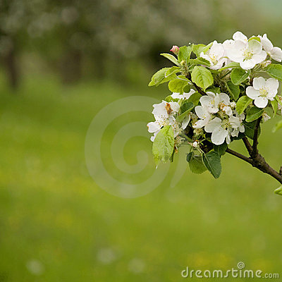 Free Apple Blossom On Spring Stock Images - 17311644