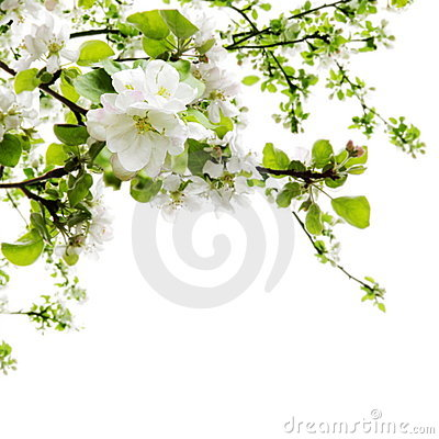 Free Apple Blossom Over White Royalty Free Stock Images - 19403769