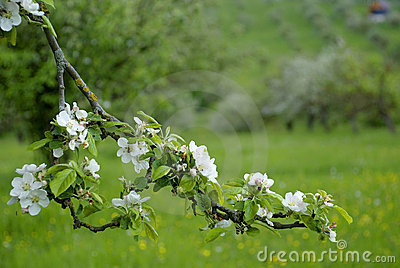 Apple blossom on spring