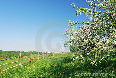 Apple Blossoms Stock Photography - Image: 12556972