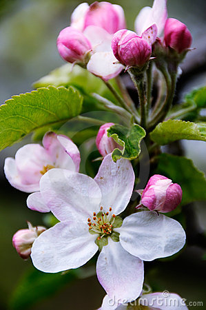 Free Apple Blossoms Royalty Free Stock Images - 4864559