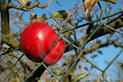 Apple caught in the fence