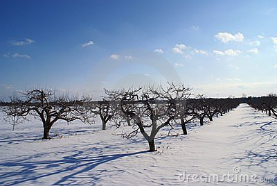 Apple farm on winter with blue clouds