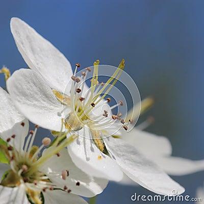 Apple flower. macro