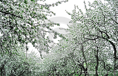 Apple garden in bloom