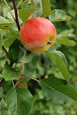 Free Apple On A Tree Royalty Free Stock Photos - 6319478