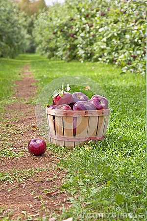 Free Apple Orchard Stock Images - 27087344