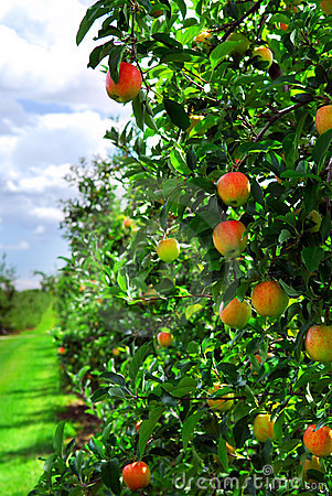 Free Apple Orchard Stock Photography - 3611812