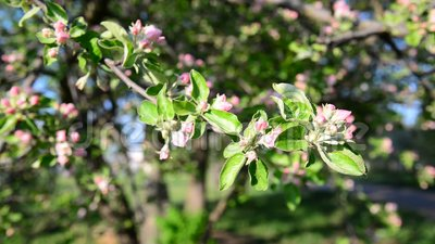 Apple orchard in bloom pink flowers. Apple orchard in a bloom pink flowers stock video