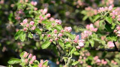 Apple orchard in bloom pink flowers. Apple orchard in a bloom pink flowers stock footage