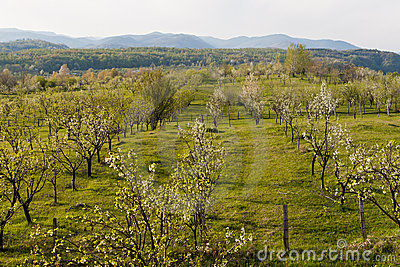 Apple orchard while blooming