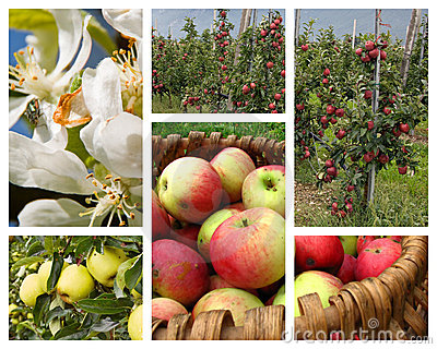 Apple orchard collage