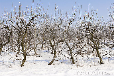 Apple orchard covered in snow