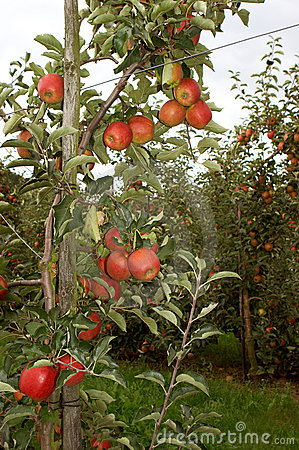 Apple orchard before the pick