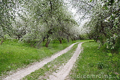 Apple Orchards in Blossom