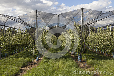 Apple orchards lendscape