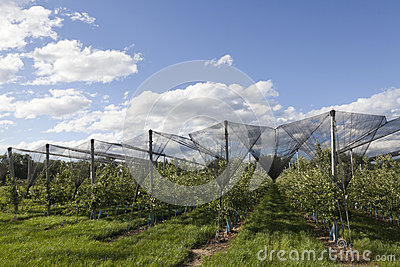 Apple orchards lendscape