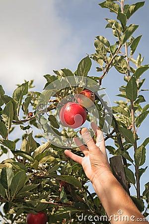 Free Apple Picking Royalty Free Stock Photos - 11192888