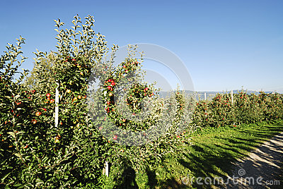 Apple Plantation Stock Photography - Image: 28090162