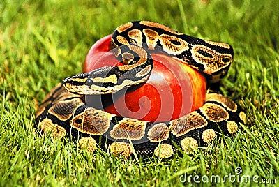 Apple python snake