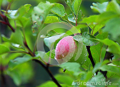 Apple after rain
