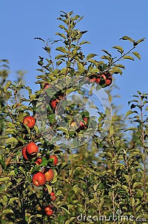 Free Apple Tree Stock Photo - 13516550