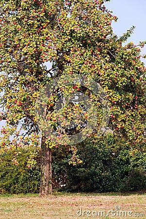 Free Apple Tree Royalty Free Stock Image - 44892216