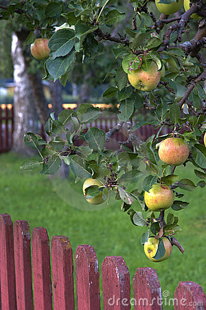 Apple tree.
