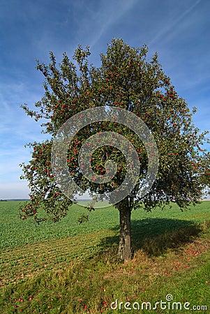 Free Apple Tree Royalty Free Stock Photography - 7867607