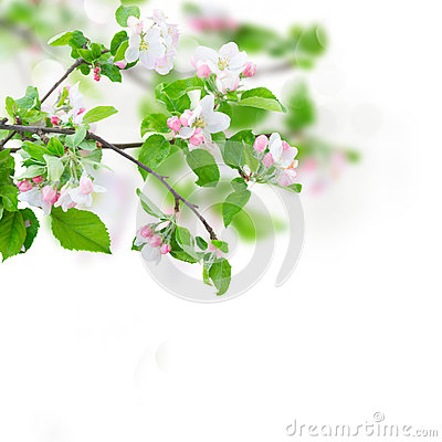 Free Apple Tree Blossom Royalty Free Stock Image - 84987776