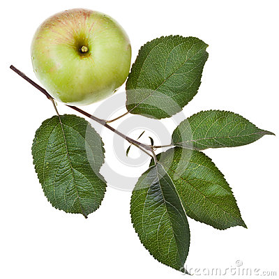 Free Apple Tree Branch With Green Leaves Royalty Free Stock Photo - 33032685