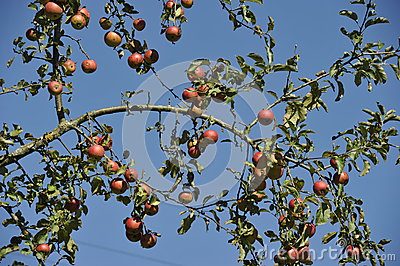 Apple Tree Branches