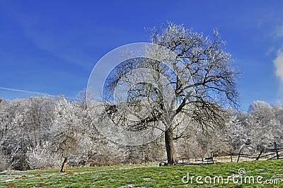 Apple tree in December