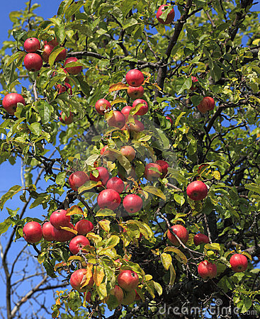 Apple tree detail