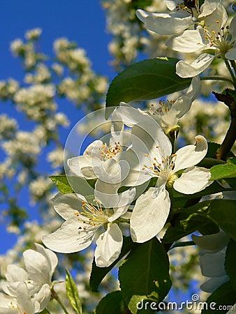 An apple-tree flowers.