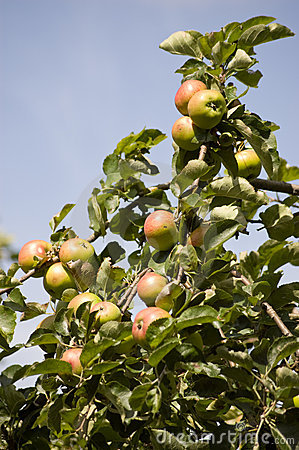 Apple tree in fruit