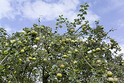 Apple tree fruit sky growing
