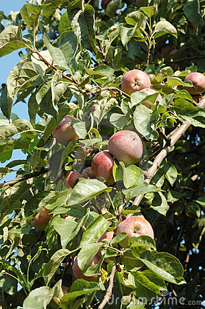 Apple tree fruits