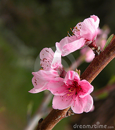 Free Apple Tree Ping Blossoms Stock Photography - 626552